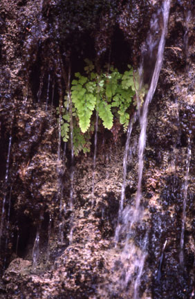 En Gedi Leaf on Rock Water Fall
